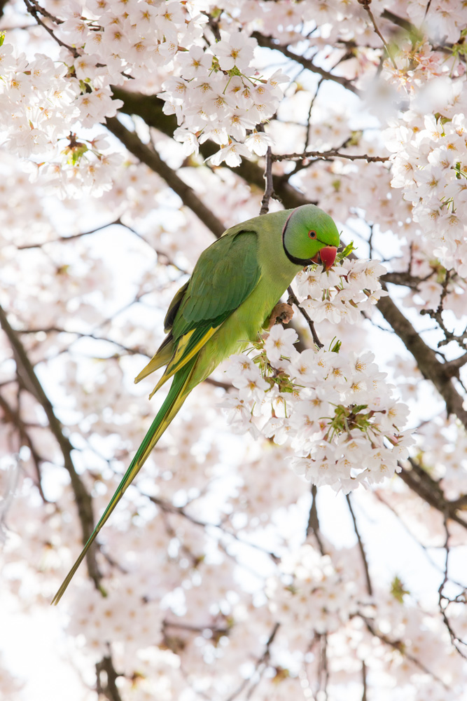 Parakeets in Blossom