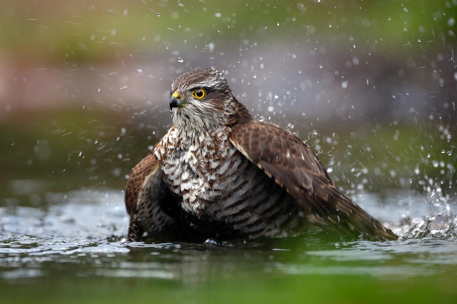 Bathing Eurasian Sparrowhawks