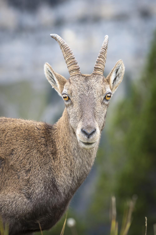 An afternoon among Alpine Ibex