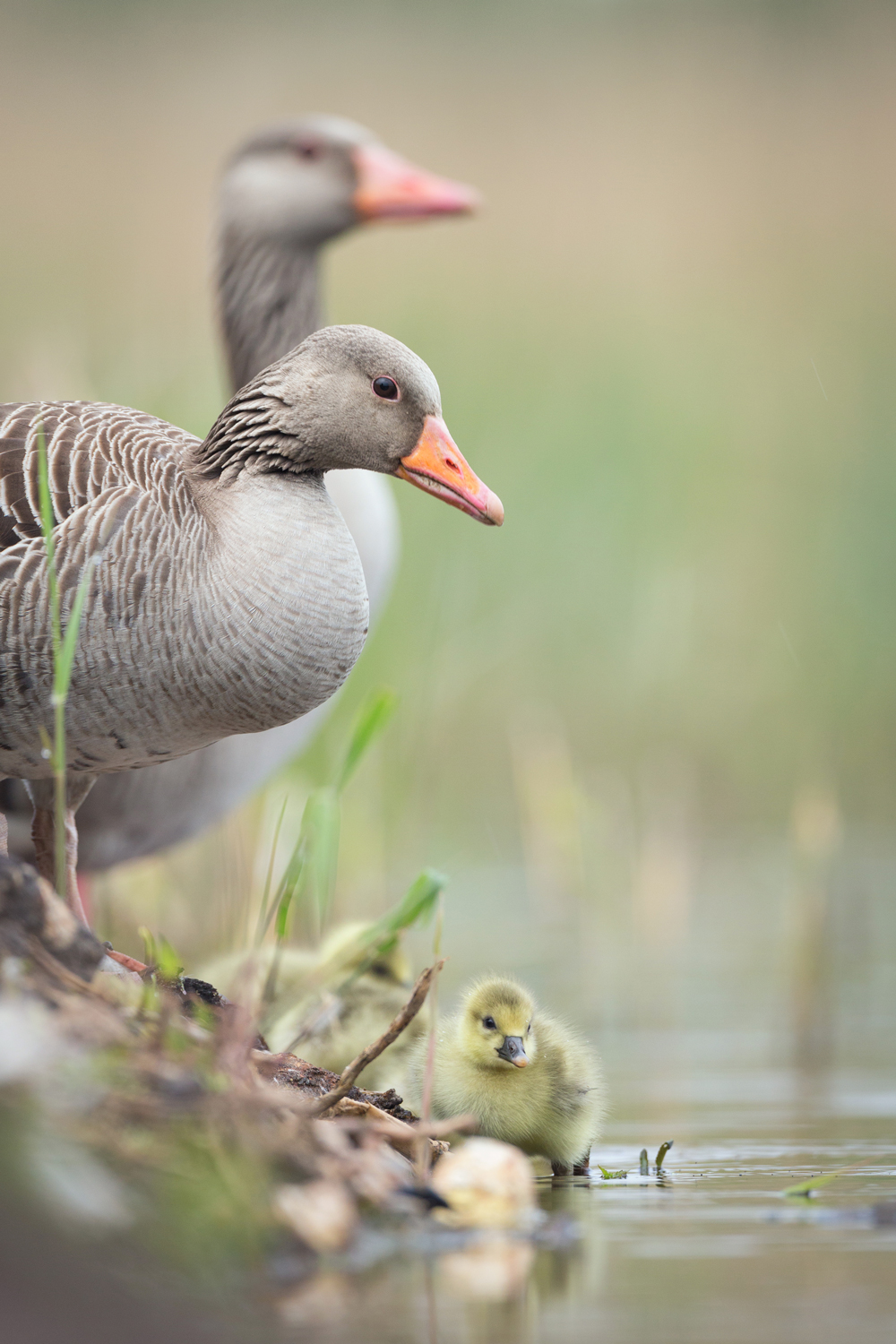 A spring morning with Greylag goslings