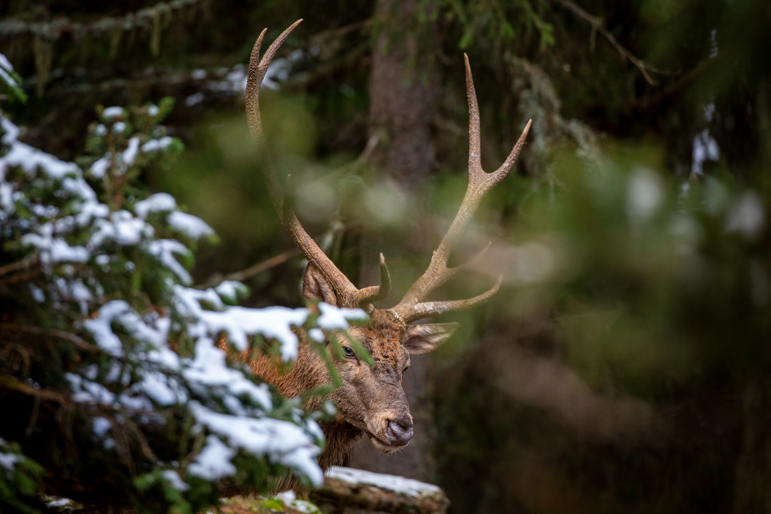 Stag hiding in the cold
